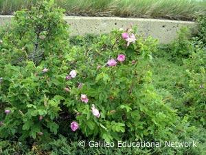 Rosa sp. Galileo Educational Network