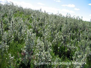 Elaeagnus commutata Bernh. ex Rydb. Galileo Educational Network
